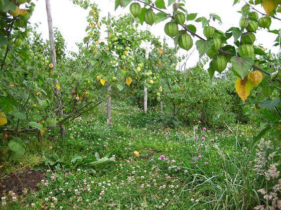cultivo Uchuva by katjapoveda1, via Flickr