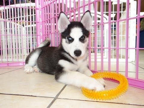 6 Cute Pomsky Puppies For Sale In Oklahoma Pomsky Puppies