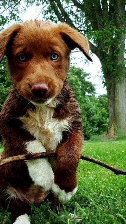 Chocolate Lab Australian Shepard Mix- the next swain dog!!!!