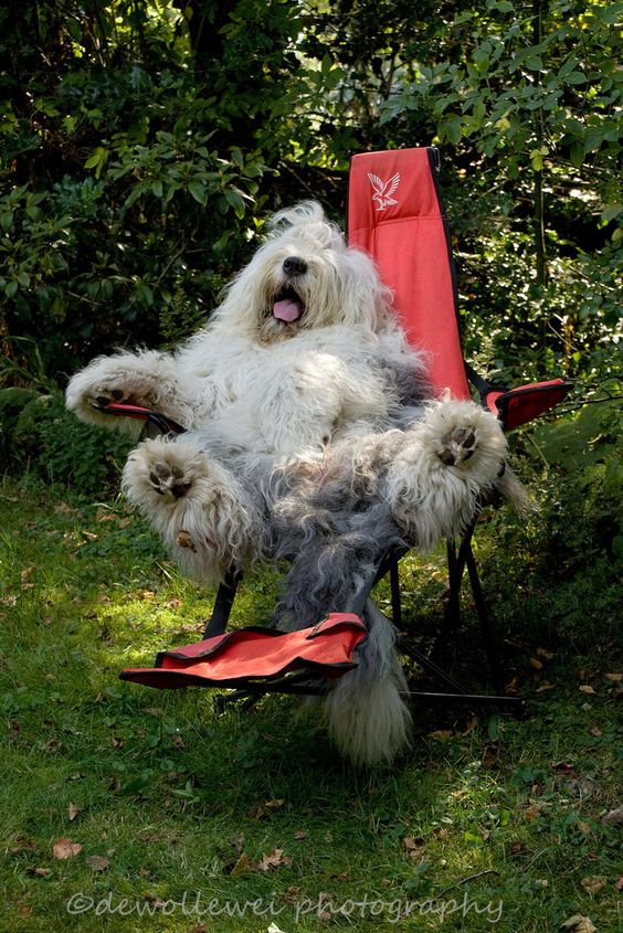 Old English Sheepdog Twins Will Make You Super Happy