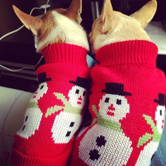 SnapWidget | Yo ASÍ no puedo trabajar  #chihuahuas #chihuahua #chihuahuasofinstagram #christmas #navidad #jerseysnavideños #perrosencima