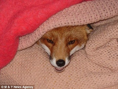 Лисички foxxes