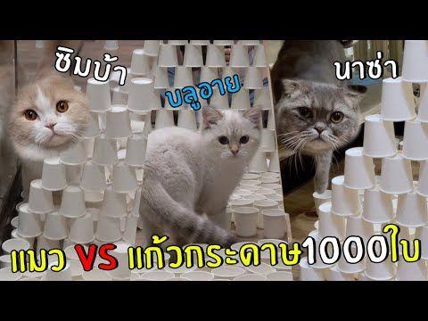 นาซ า ซ มบ า บล อาย แมวหน าเหว ยง Youtube ในป 2021 แมวน อย แมว ส ตว เล ยง