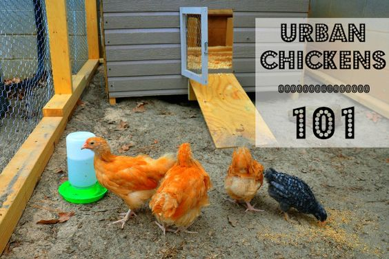 Fresh eggs, natural pest control, free fertilizer...what could be better than keeping chickens?