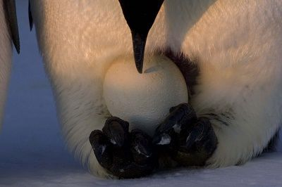 EMPEROR PENGUIN holding his egg on the tops of his feet to keep them toasty warm..: