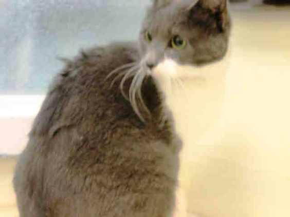 SAFE! TO BE DESTROYED 11/4/14 ** PRETTY KITTY! Brooklyn Center * Ami was displaying good behavior. Interacts with the Assessor, solicits attention, is easy to handle and tolerates all petting. **   My name is AMI. My Animal ID # is A1018264. I am a female gray and white domestic sh mix. The shelter thinks I am about 1 YEAR 1 MONTH old.  I came in on 10/21/2014 from NY 11691,  OWN EVICT.  Group/Litter #K14-199214.