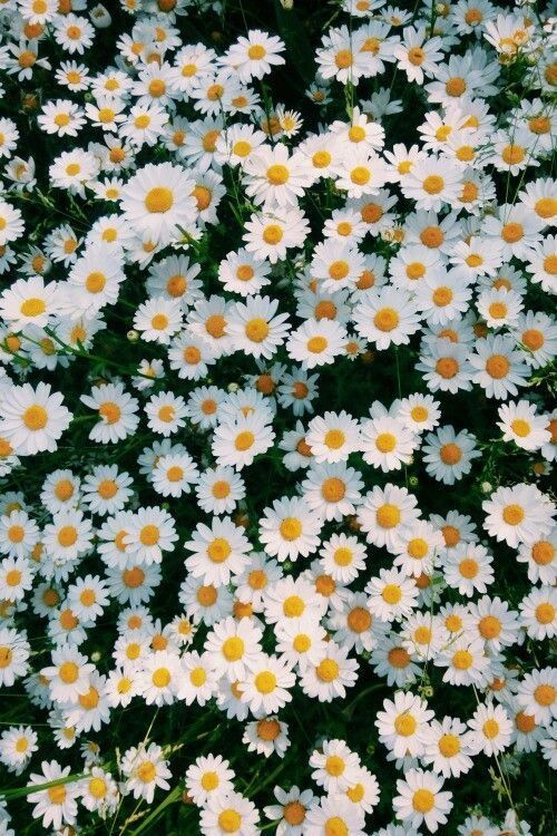 Daisies In 2019 Flower Background Wallpaper Flower