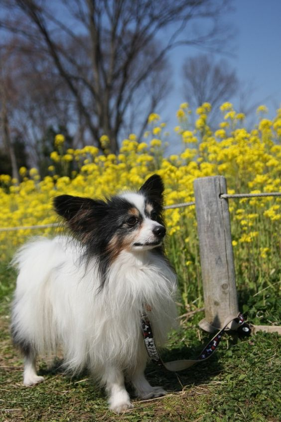 Papillon. One of the most obedient and responsive of the toy breeds, the vivacious papillon is also gentle, amiable and playful. It is friendly toward strangers, other dogs and pets and is very good with children. Some can be timid. Weighs up to 9lbs, lives 12-15yrs.