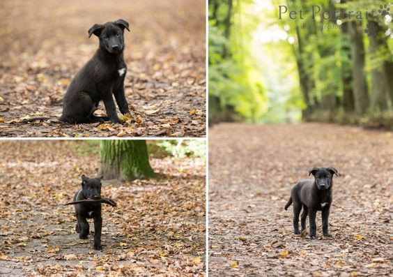 Hondenfotografie Hillegom en Heemstede - Duitse Herder pup Wolf-4