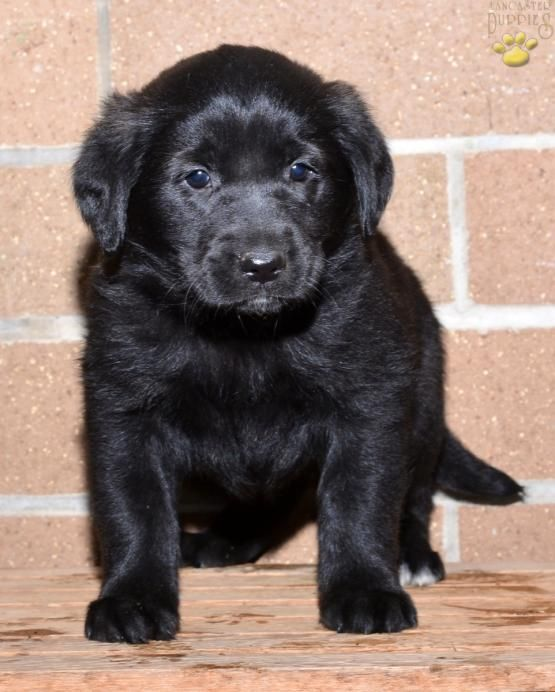 Tammy Golden Retriever Mix Puppy For Sale In Millersburg Oh