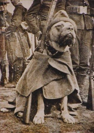 Civil War hero, Jack, in full gear - an honorable dog photographed for posterity  and it appears to be a pit bull.. our hero!