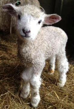 God is so cool to create all of these wonderful living things on the earth. look at this cute lil guy. hey lamby