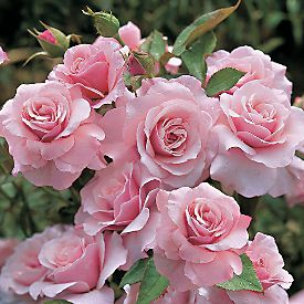 Rose (Rosa ) 'Our Lady of Guadalupe'