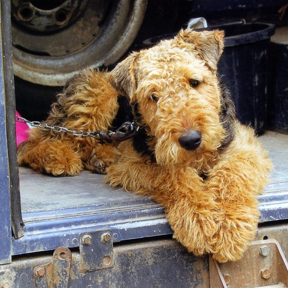 Airedale Terrier. Looks like a stuffed animal! Cuteness