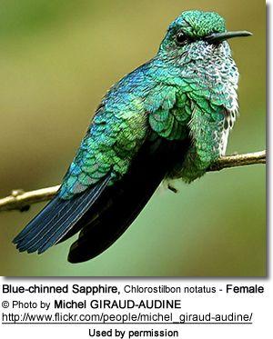 Blue-chinned Sapphire, Chlorostilbon notatus - Female