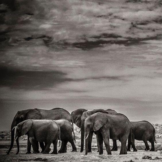 Had to go ahead and break the trend of lions I have been on. This is a small family here of elephants along the Chobe River in Northern Botswana.  The image was taken on an IR converted 5Dmkii