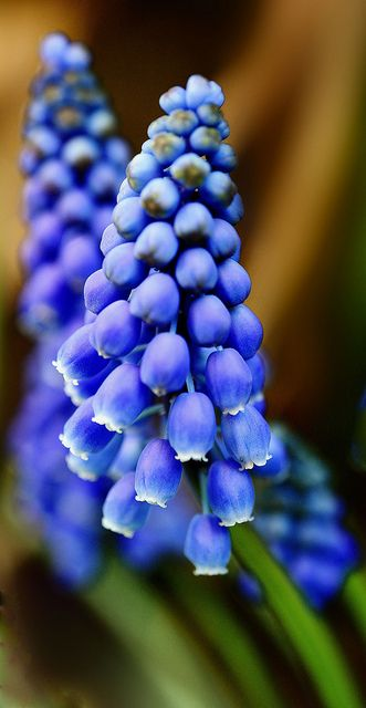 Muscari. Grape hyacinth. Bulbous perennial. Plant in full sun or part shade in well drained soil. Flowers in spring.: