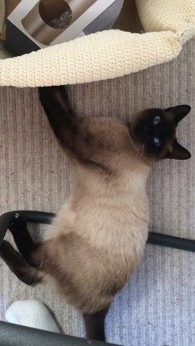 Lost Cat Chocolate Brown And Beige Siamese Burmese Isleworth