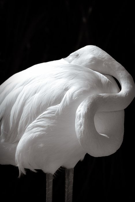 Albino Flamingo,   I thought the food they eat is what gives them their pigment?