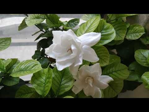 5 Things That I Do To Get More Flowers On Gardenia Plant Youtube Gardenia Plant Plants Gardenia