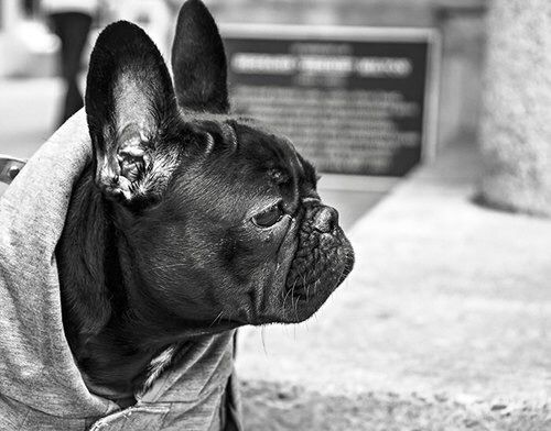 Image via We Heart It https://weheartit.com/entry/140629243/via/13431676 #costume #dog #frenchie #hoodie #puppy