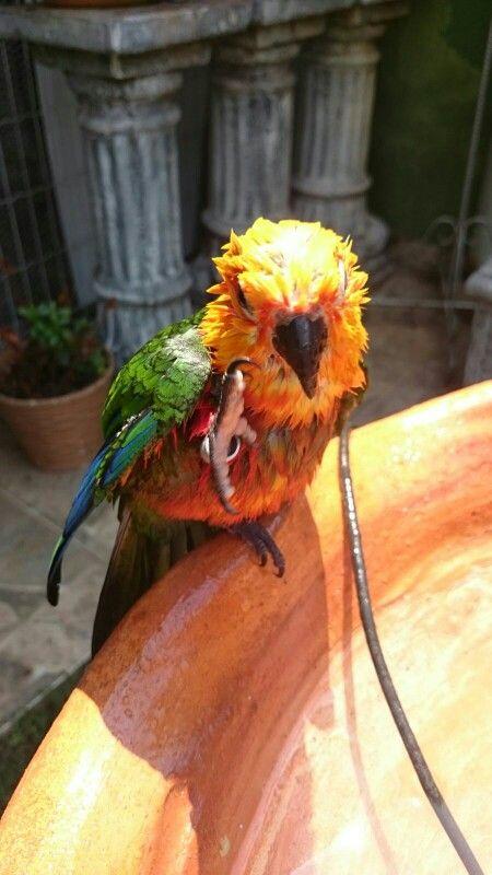 Minha aratinga tamando banho  -  DR