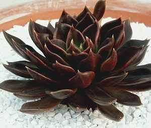 Echeveria 'Black Prince' - this cultivar is the result of a cross between Echeveria shaviana and the black leaved Echeveria affinis ('Black Knight').
