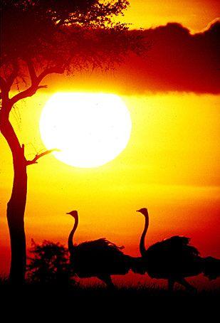 Ostriches at sunset. BelAfrique your personal travel planner - www.BelAfrique.com