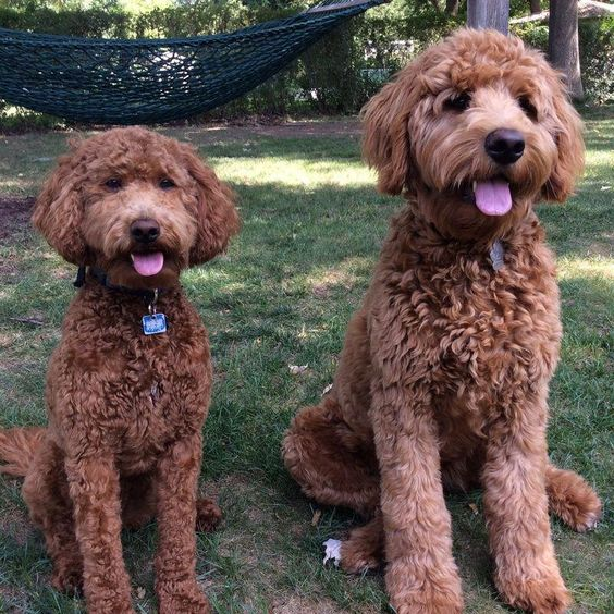 we sell goldendoodle puppies as well as well as poodle puppies.We produce quailty goldendoodle puppies with a 2yr guarantee.We also have alot of information on the all new dog breed goldendoodles. Poodles are wonderful family pets.Love your dog and it wi #poodlepuppies
