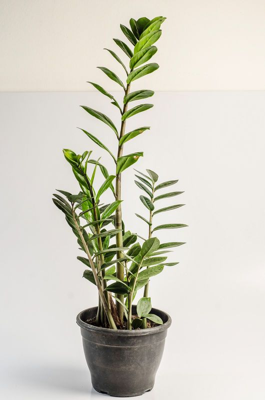 Zamiokulkas Zamiolistny Fot Shutterstock Plants Plastic Pots Planters