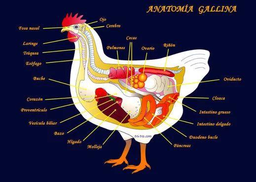 Anatomía de la Gallina - Gallina Castellana negra   proyecto huevo ...