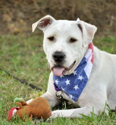 Casey is an adoptable Pit Bull Terrier Dog in Portsmouth, RI