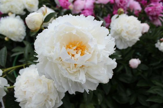 Herbaceous peony Bridal Icing: