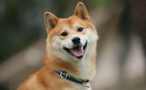 La sonrisa del perro Shiba Inu japonés