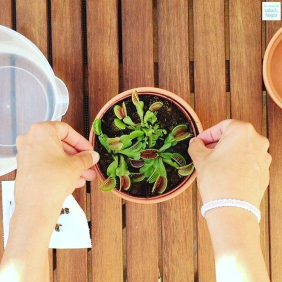 Si quieres saber cómo cuidar una planta carnívora en el canal de Youtube de tucanaldesaludyhogar te lo explicamos (encuentra el link en la bio)
