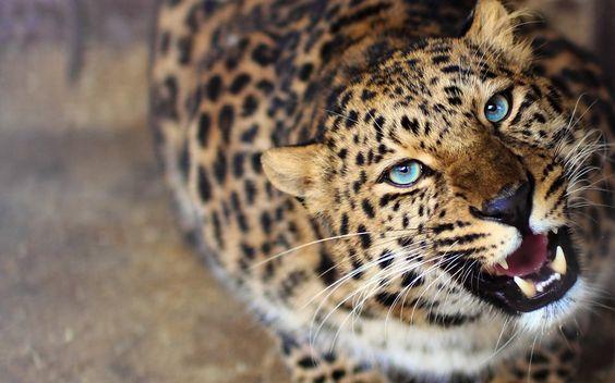 cara de leopardo ojos fondo de pantalla