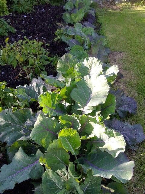 Kale grows in Shetland garden
