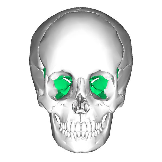 sphenoid bone: winged shaped | physiotherapy & occupational, Sphenoid