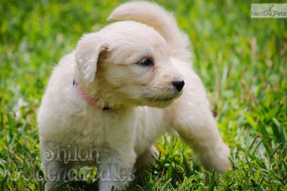Penelope is a cute Goldendoodle puppy.