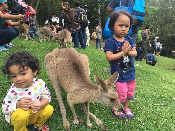 izzarith takut kangaroo.. #goldcoastaustralia #kangaroo #currumbinwildlifesanctuary by arfaben http://ift.tt/1X9mXhV