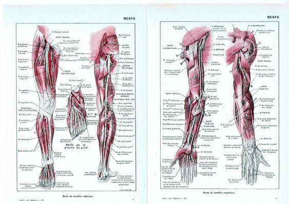 Nervous system.Anatomy,Anatomical.Skeleton.Medical Illustration.French.Book Page.Original.Colour.Color.Vintage.doctor,nurse.nerve.nerf.deco by JackieBassettArt on Etsy