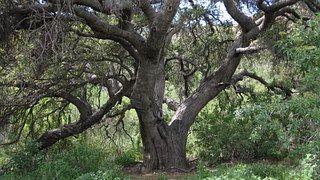 Eiche, California, Baum, Laubbaum