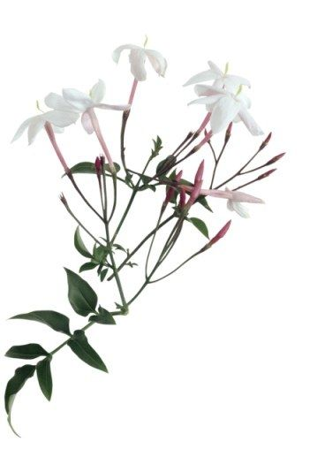 Jasmin sa signification dans le langage des fleurs le for Langage des fleurs
