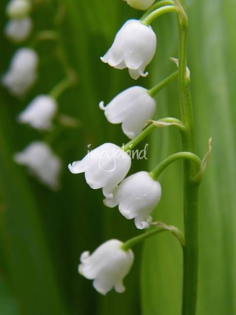 Lily Of The Valley Convallaria Majalis By Vpicks 2013 Adver Aff Sponsored Convallaria Vpicks Majalis Valley In 2020 Lily Of The Valley Lily Nature