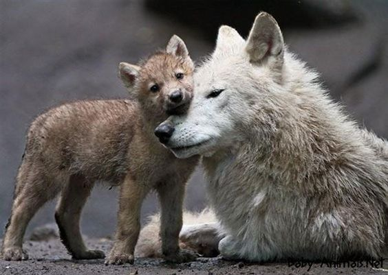 Cute Baby wolf | Baby wolf | Pinterest | Wolves, Baby ...