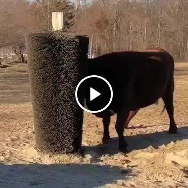 Eita, a felicidade da vaca é tanta que contagia o ambiente