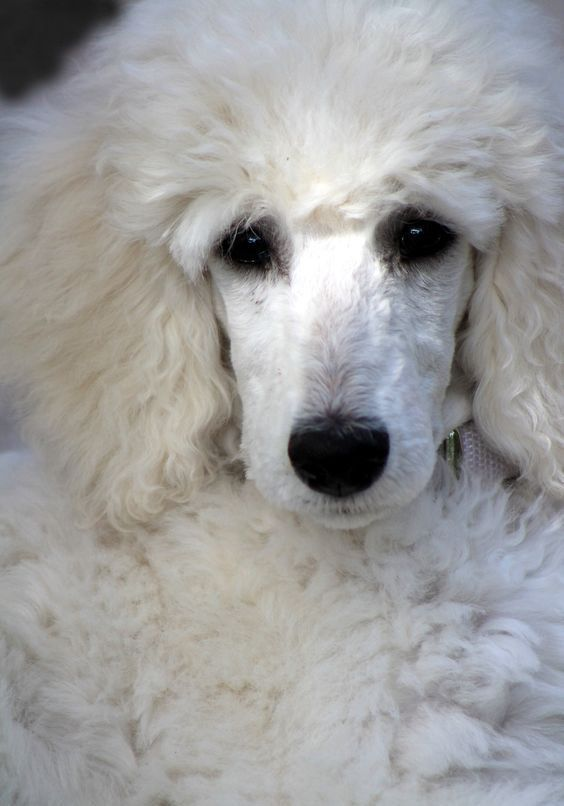 Pin By Amanda Raymaakers On Poodles Poodle Dog Poodle Poodle Puppy
