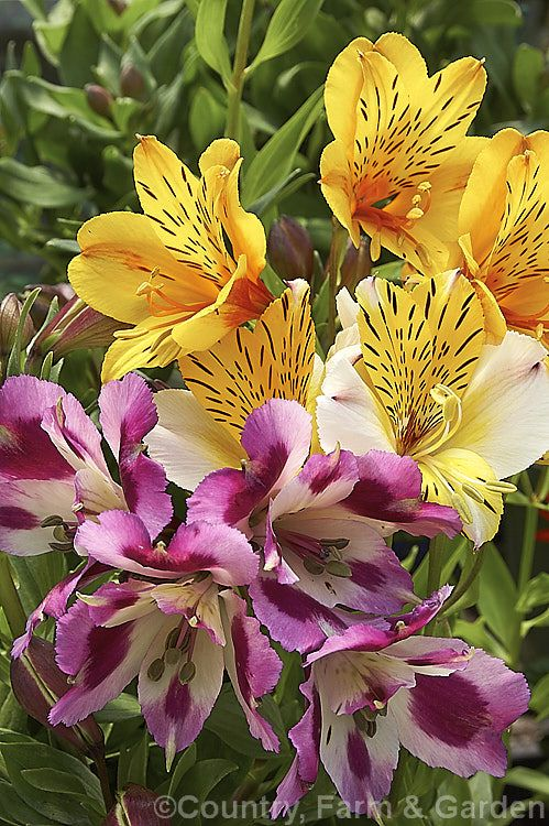 A Selection Of Alstroemeria Cultivars Top Goldie Centre Walter Fleming And Bottom Anouska Alstroemerias Are Hardy F In 2020 Alstroemeria Perennials Photo