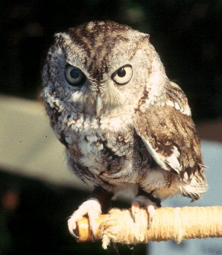 eastern screech owl - their prey which includes insects, reptiles, small mammals such as bats and mice and other small birds and theypossess well-developed raptorial claws and a curved bill, both of which are used for tearing their prey into pieces small enough to swallow easily.