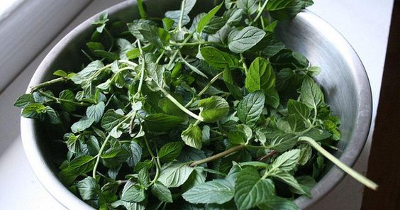 El cultivo de menta es bastante fácil y por ello es una de las aromáticas más…